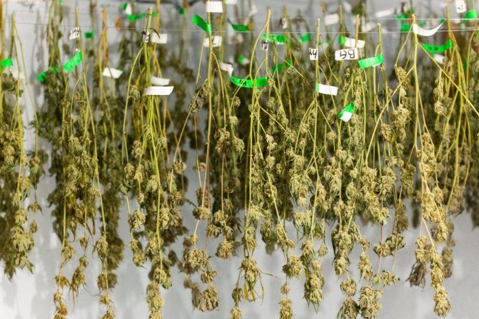 Marijuana THC Drying Labeled Full Plants