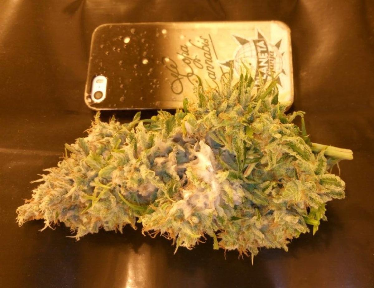 How To Dry Marijuana Buds Guide
