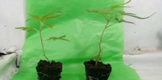 Roots are the reason for buds, and the buds mirror perfectly of what is happening to roots.