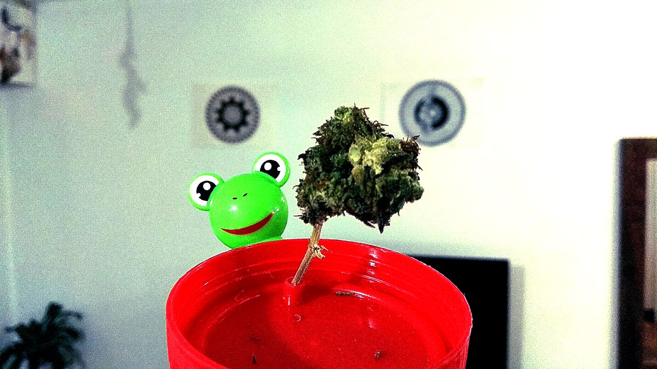 The green angry bud of buen-Dia new cannabis strain & a plastic frog on a baby thermometer