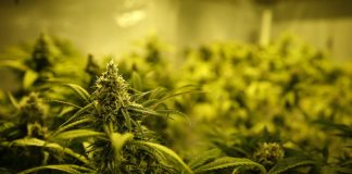Marijuana Farm Fine Art Photo