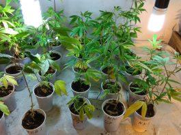 Marijuana Clones in the Genetic Bank