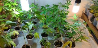 Marijuana Clones in the Genetic Bank