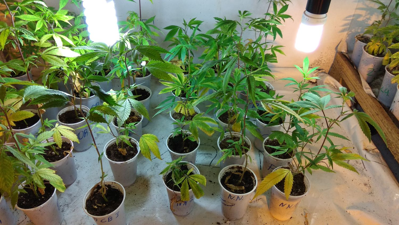 The Importance Of Medical Marijuana Genetic Library