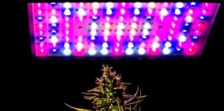 Mature cannabis female plant buds under LED Lighting