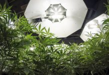 Marijuana Grow Tents For Improving Cannabis Yields INDOOR