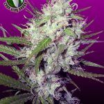 the DARK ANGEL - feminized cannabis seeds for the beginner growing indoor. It's 50/50 Indica and Sativa, and it's feminized and this makes the growing even easier. Nice one to start with.
