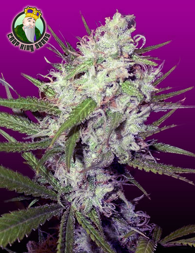 the DARK ANGEL - feminized cannabis seeds for the beginner growing indoor. It's 50/50 Indica and Sativa, and it's feminized making your FIRST growing even easier!! Nice one to start with.