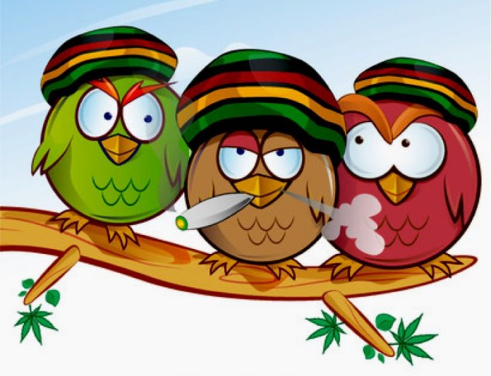 Jamaican Owls the smoking birds cartoon artist's impression, do they choose Indica, or do they puff Sativa cannabis only?