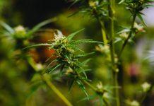 Marijuana Growing Bible - the best expert e-book on growing marijuana.