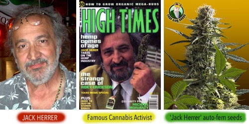 Jack Herrer autofem seeds - buy feminized seeds named after Jack Herrer - remarkable person in cannabis recent history