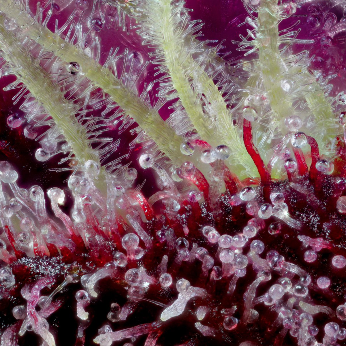 Anthocyanin in cannabis trichomes