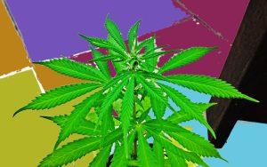 home growing marijuana in hydroponic farms